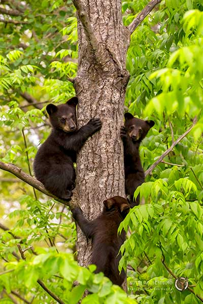 Trouble Comes in Threes, I Mean Trees (three bears photo) by Snotty Moose Studio